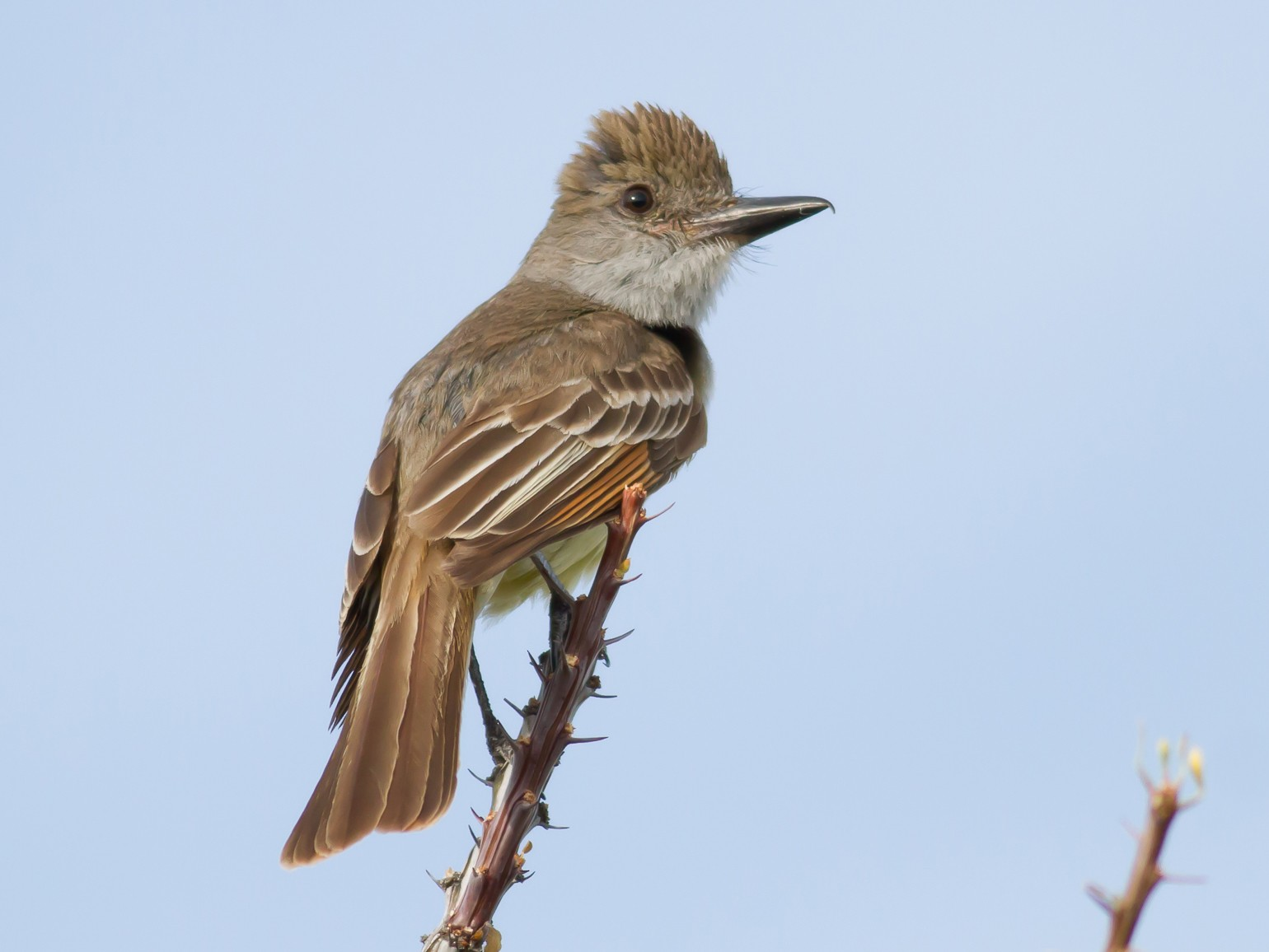 Brown-crested Flycatcher - Nick Pulcinella