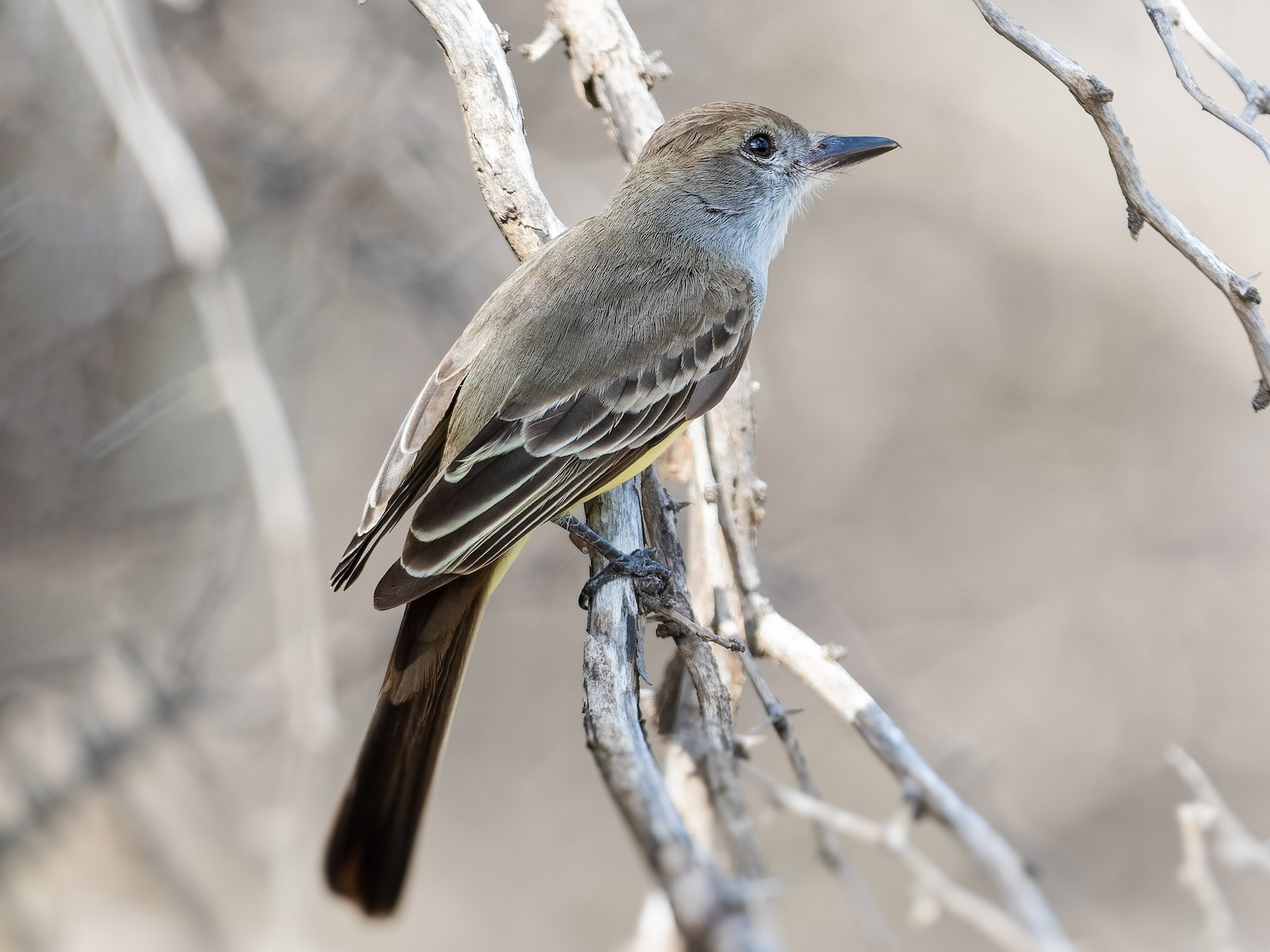 Brown-crested Flycatcher - Don Danko