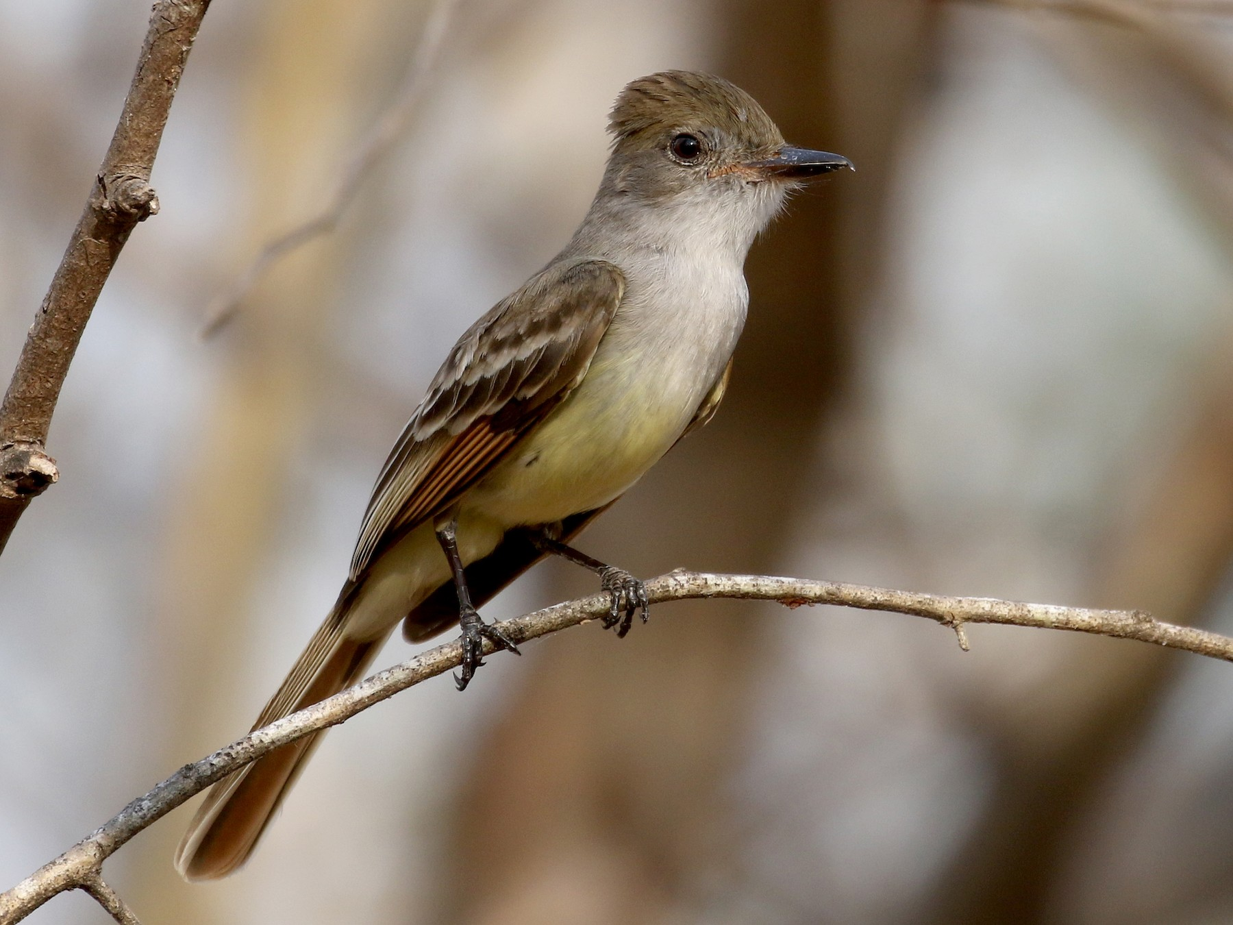 Brown-crested Flycatcher - Jay McGowan