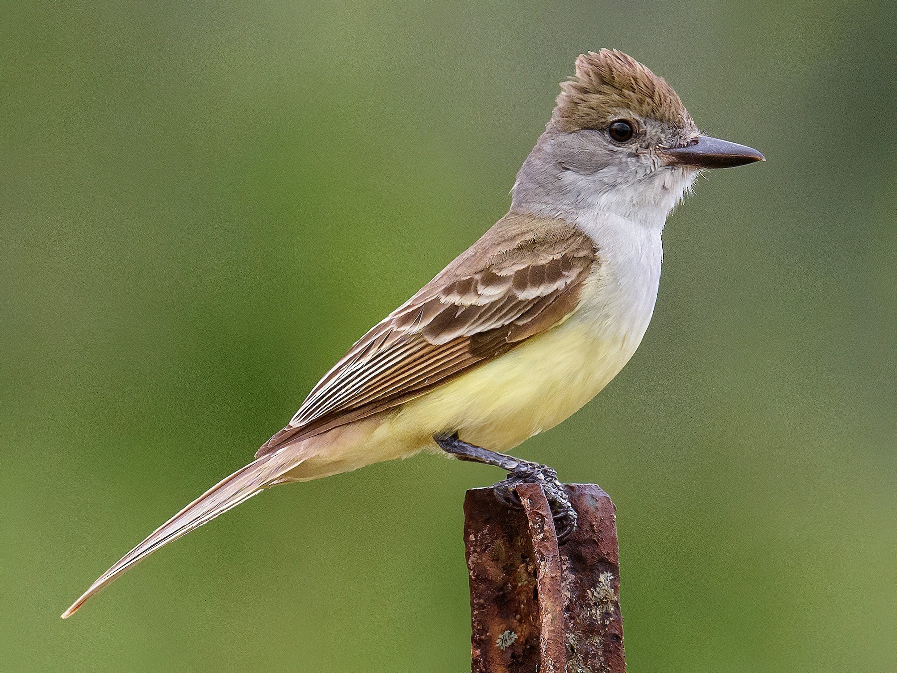Brown-crested Flycatcher - Scott Holt