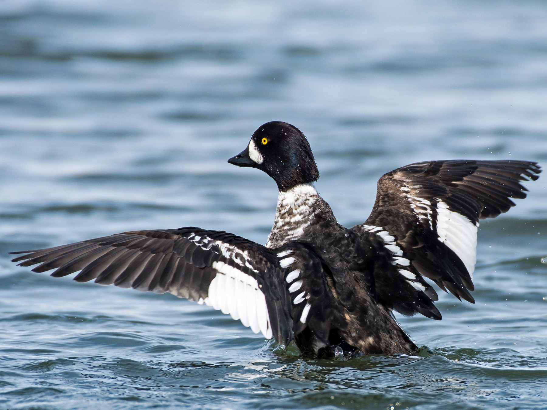 Barrow's Goldeneye - Michel Bourque
