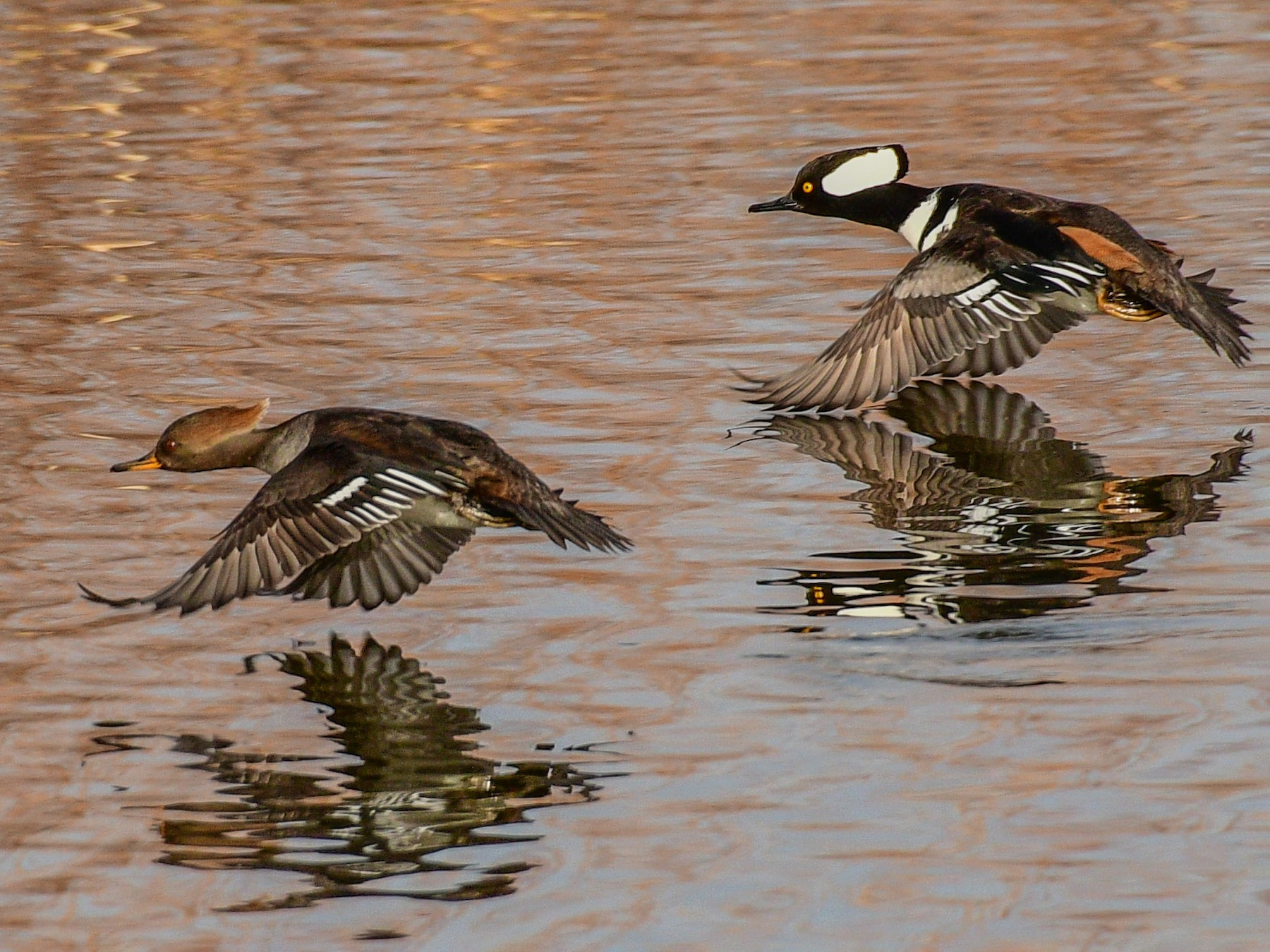 Hooded Merganser - Libby Burtner