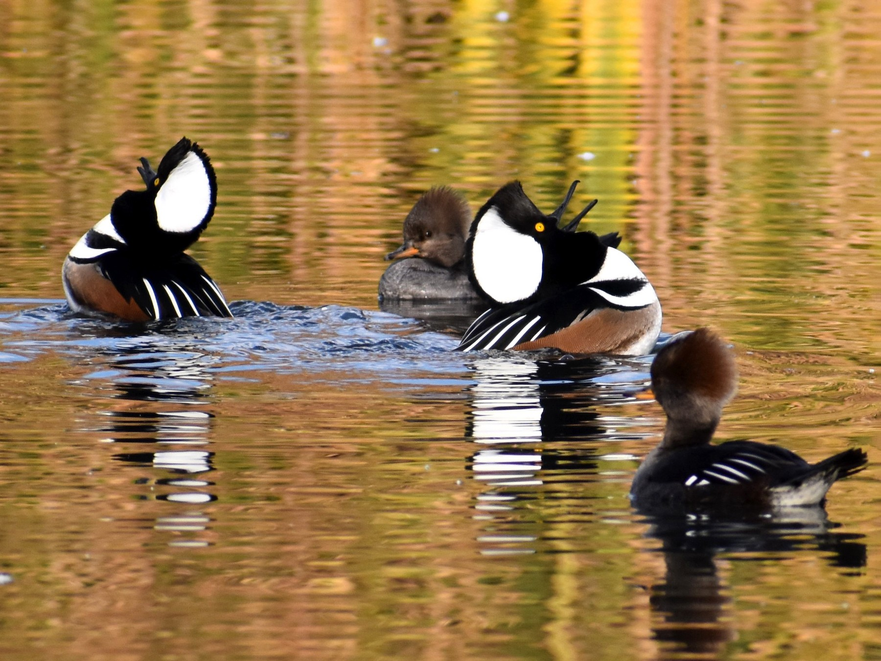 Hooded Merganser - Marina Roell