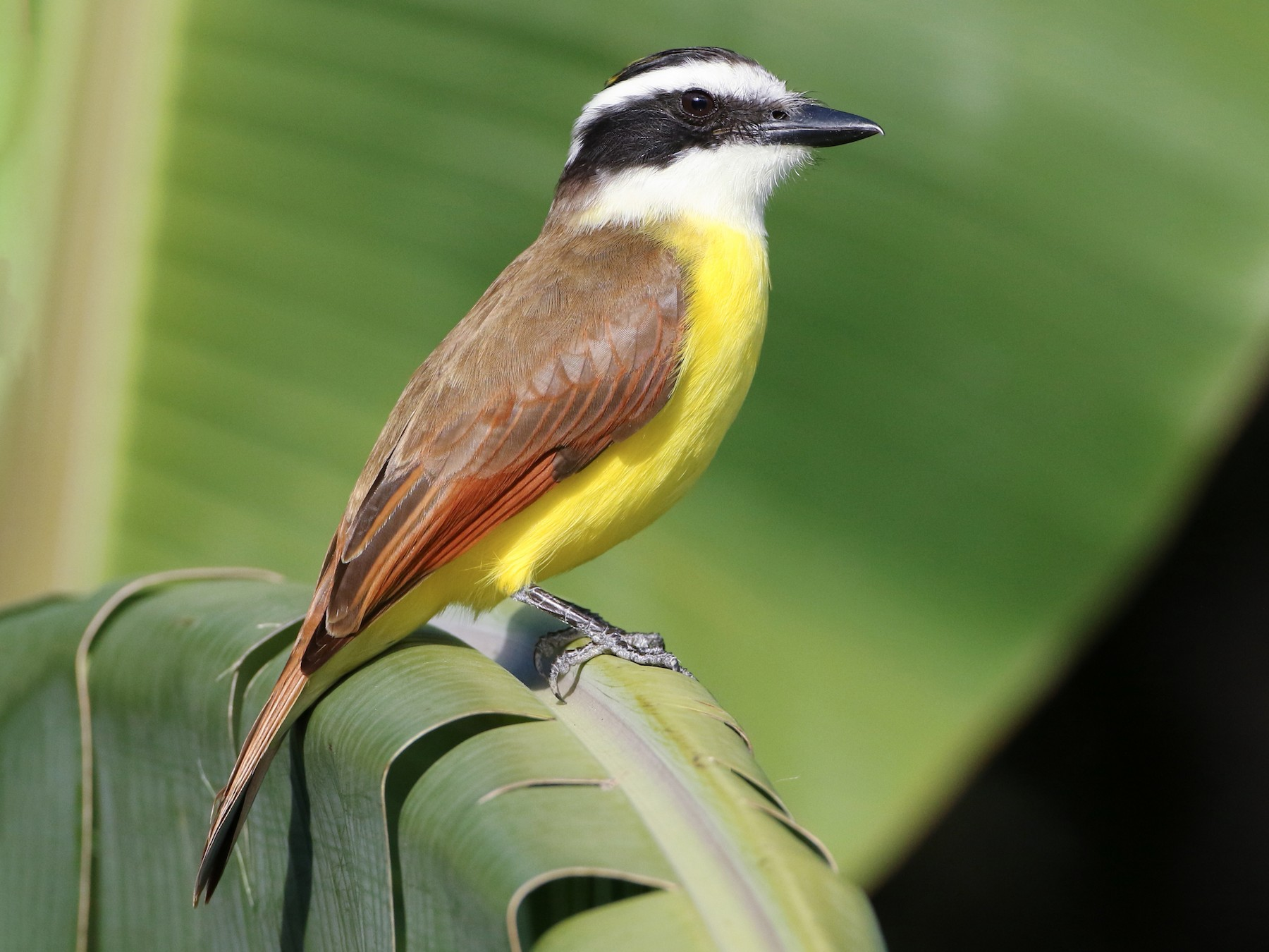 Great Kiskadee - Luke Seitz