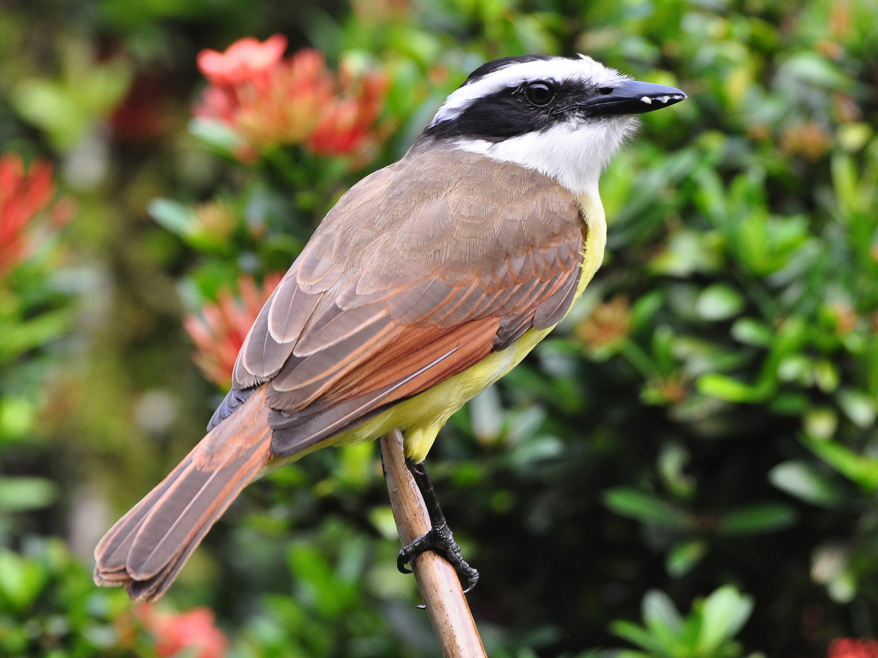 Great Kiskadee - Raymond Marsh