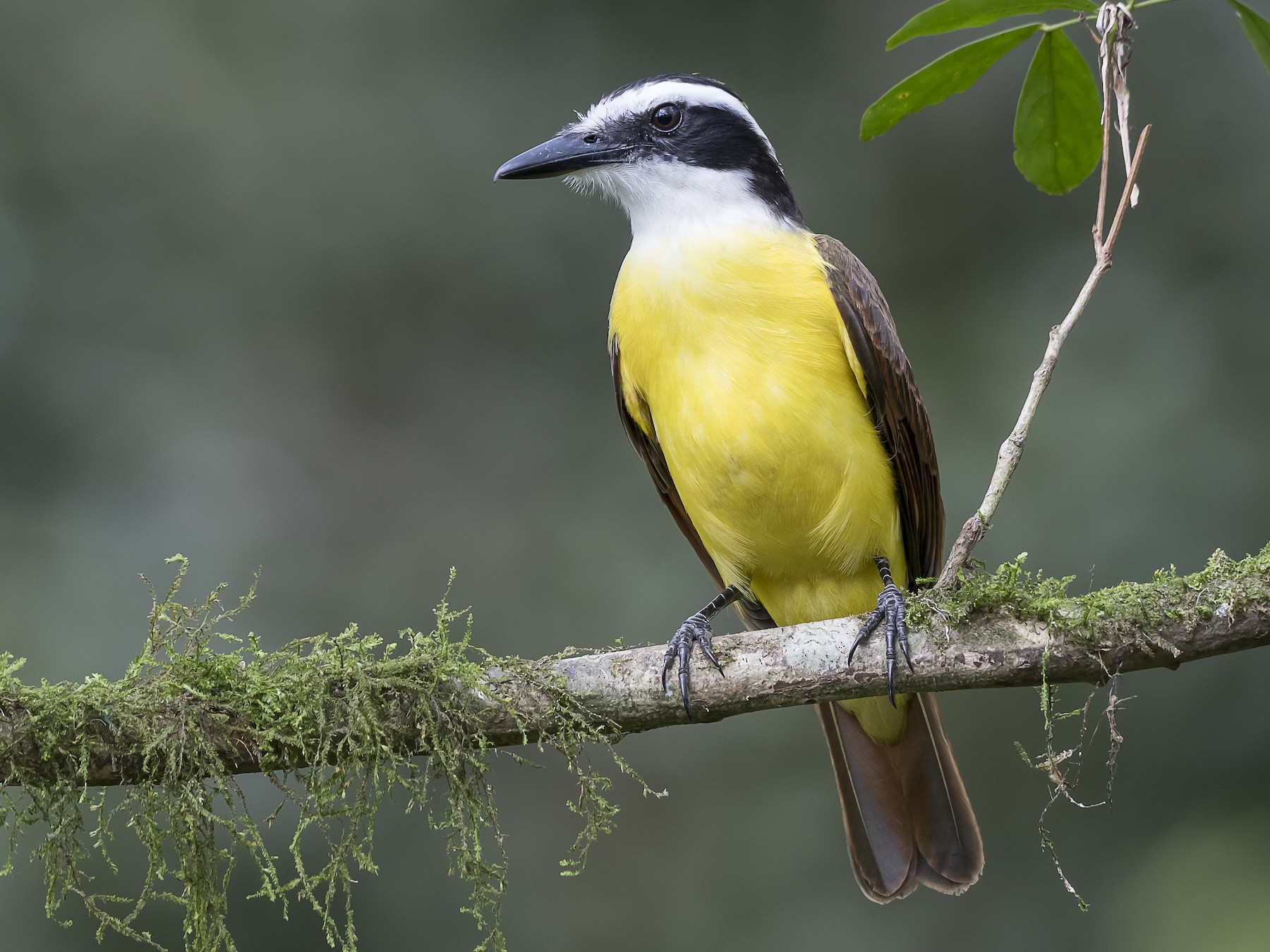 Great Kiskadee - fernando Burgalin Sequeria