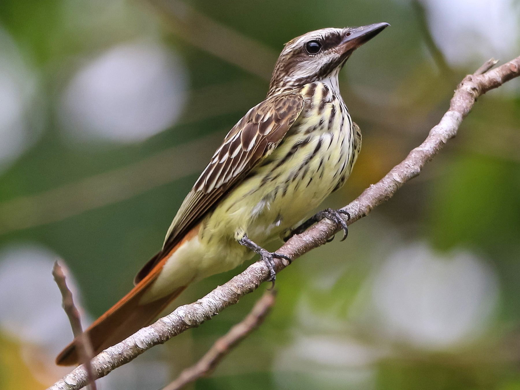 Sulphur-bellied Flycatcher - Isaias Morataya