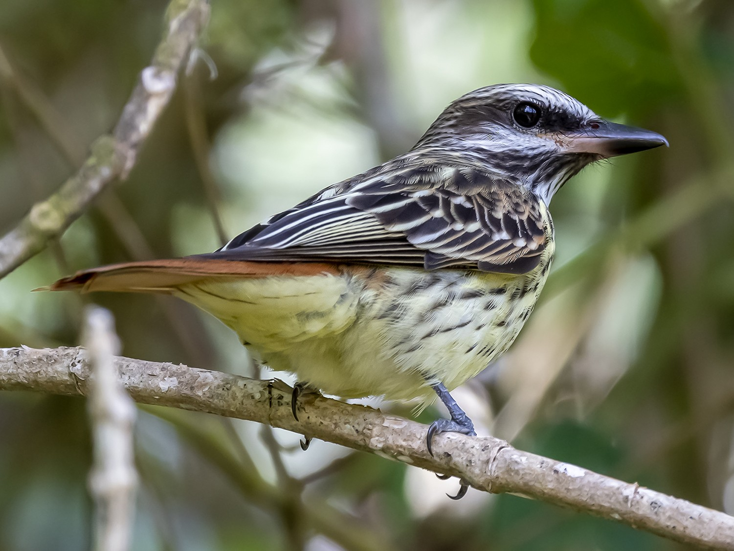 Sulphur-bellied Flycatcher - fernando Burgalin Sequeria