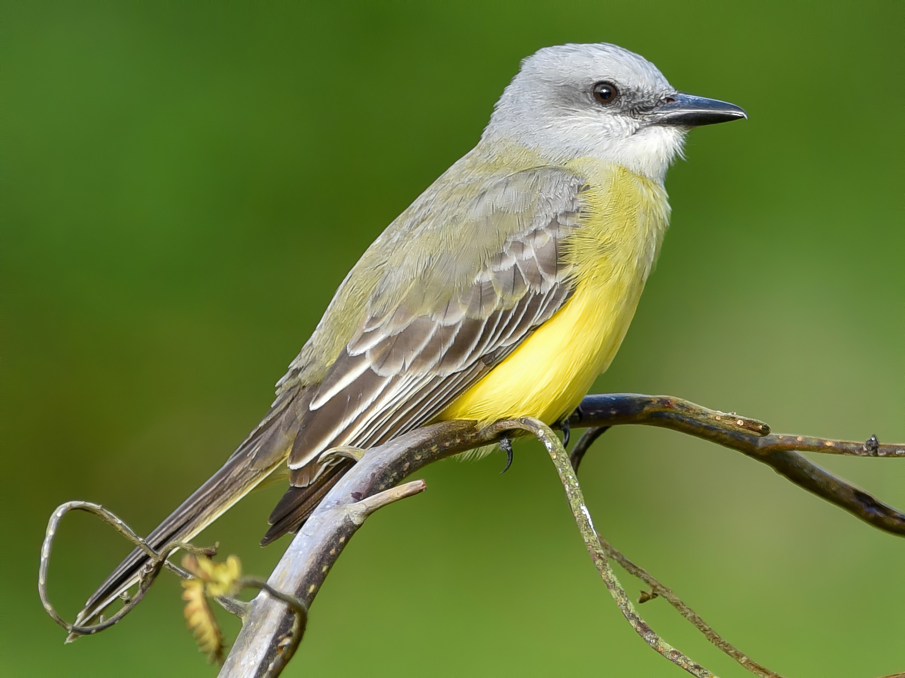 Tropical Kingbird - Daniel Irons