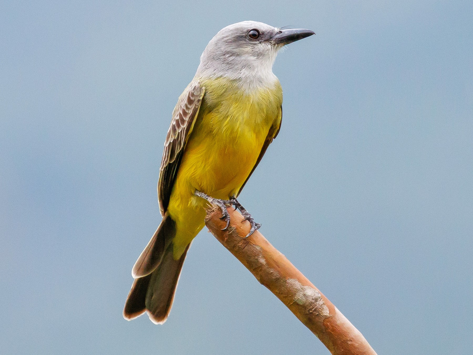Tropical Kingbird - Martin  Flack
