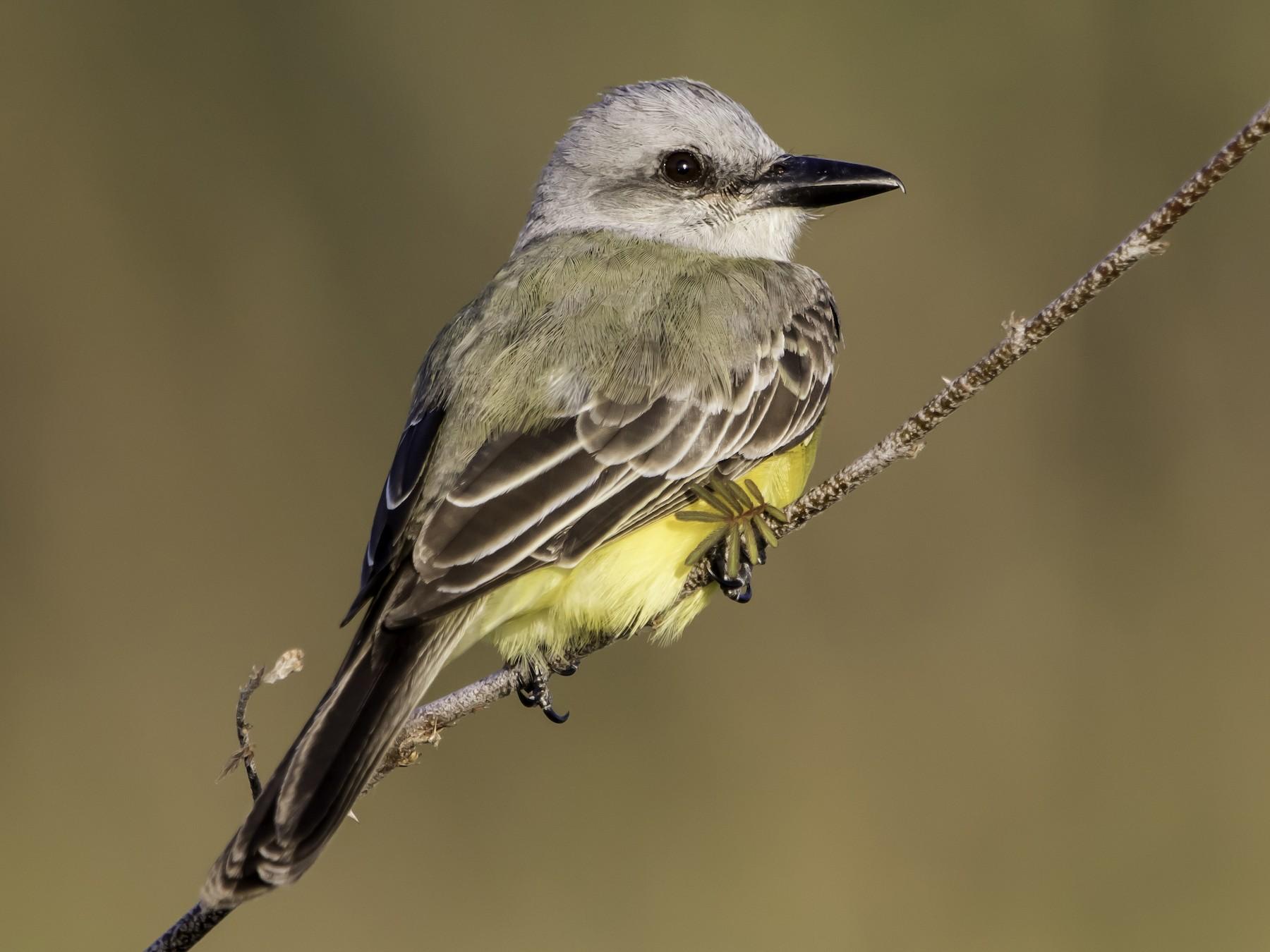 Tropical Kingbird - Jorge Eduardo  Ruano