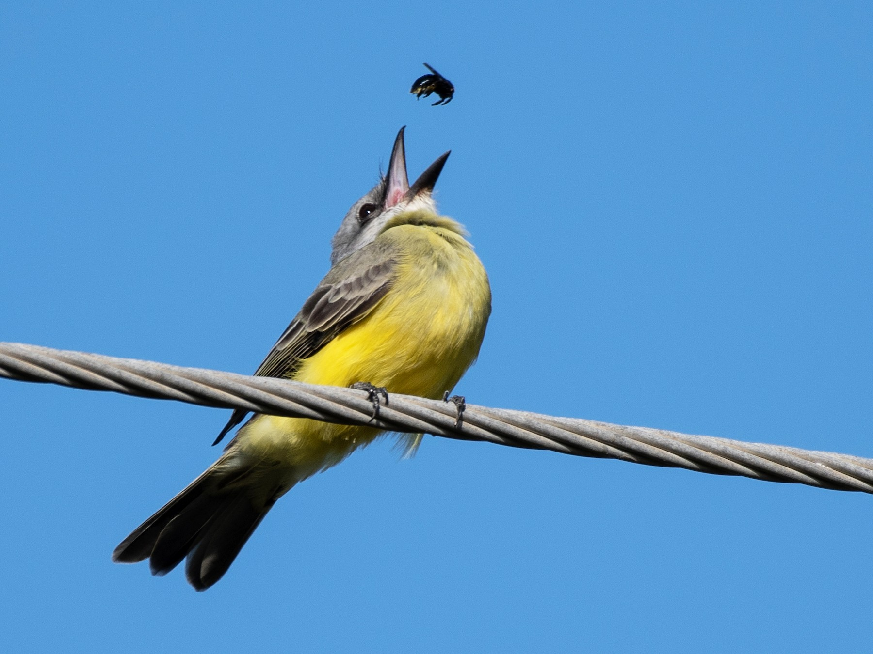 Tropical Kingbird - Larry Manfredi