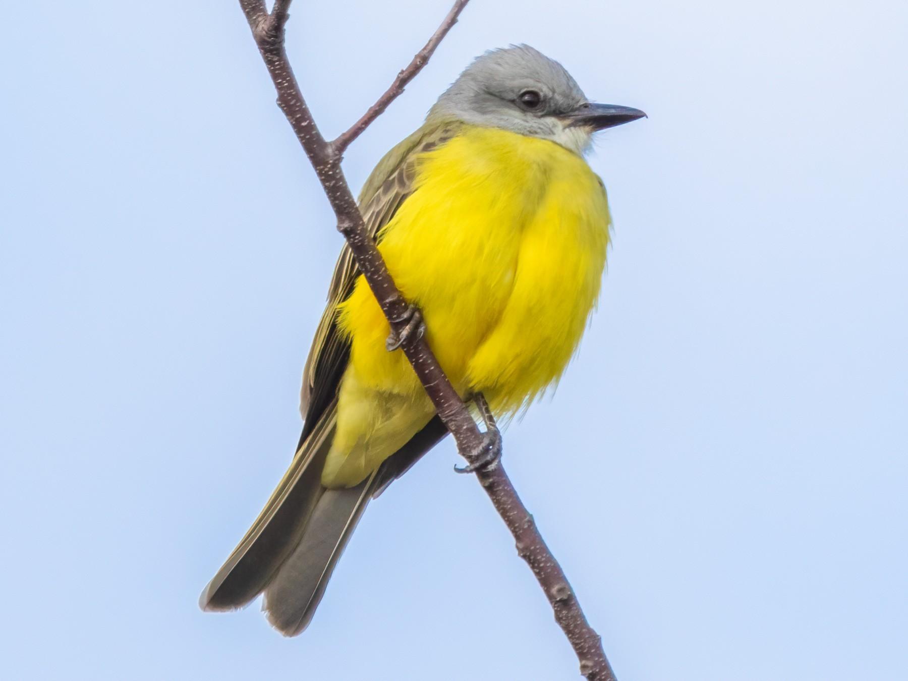 Couch's Kingbird - Amresh Vaidya