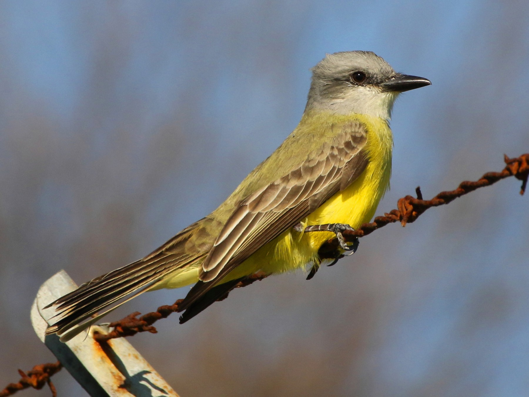 Couch's Kingbird - Don  Brode
