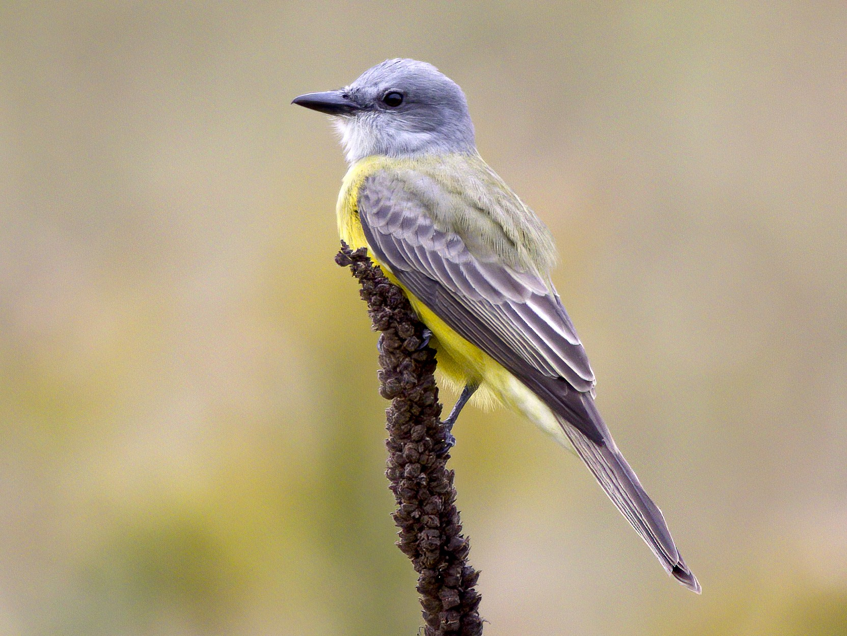 Couch's Kingbird - Jason Garcia