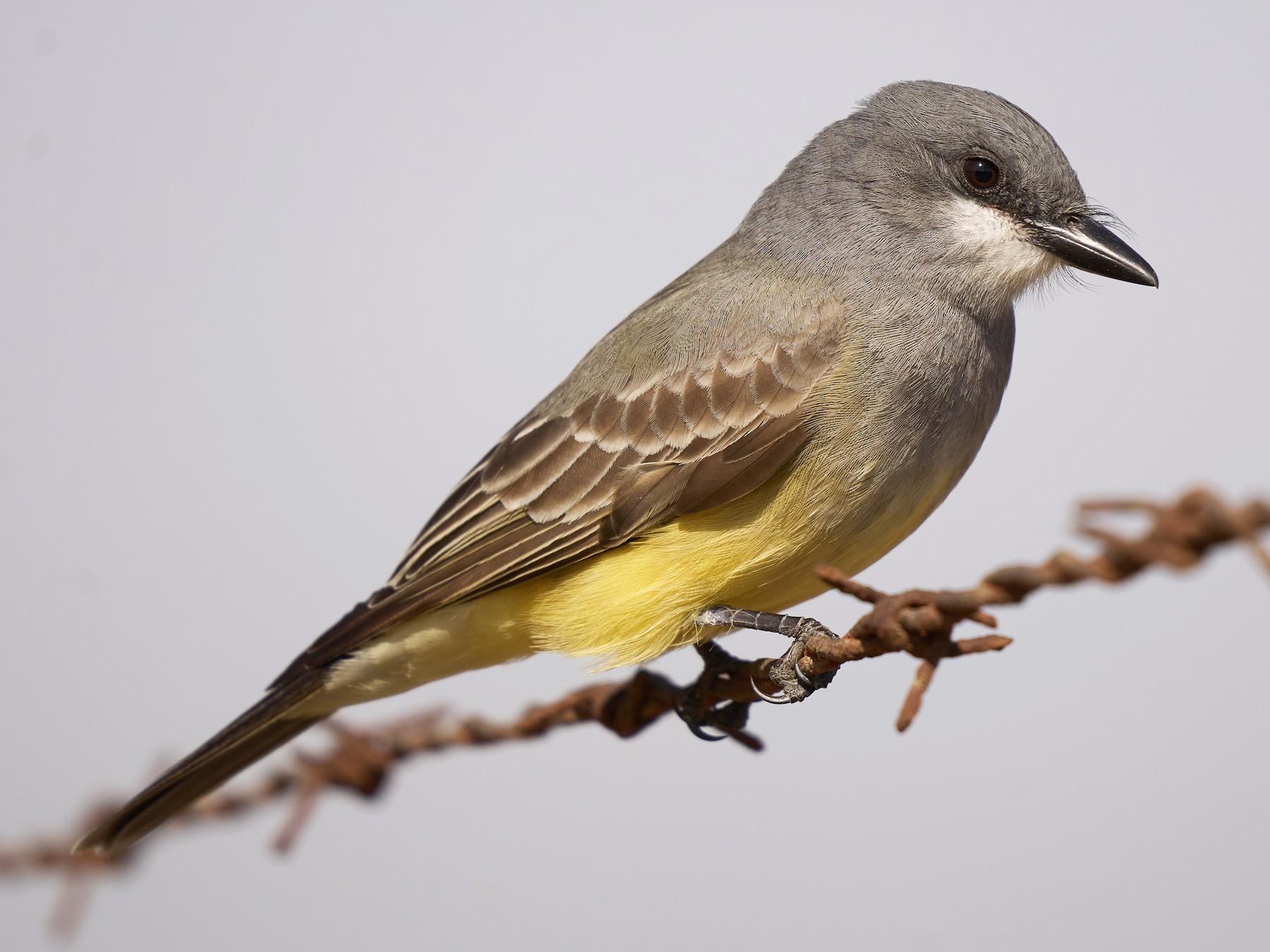 Cassin's Kingbird - Jonathan Casanova