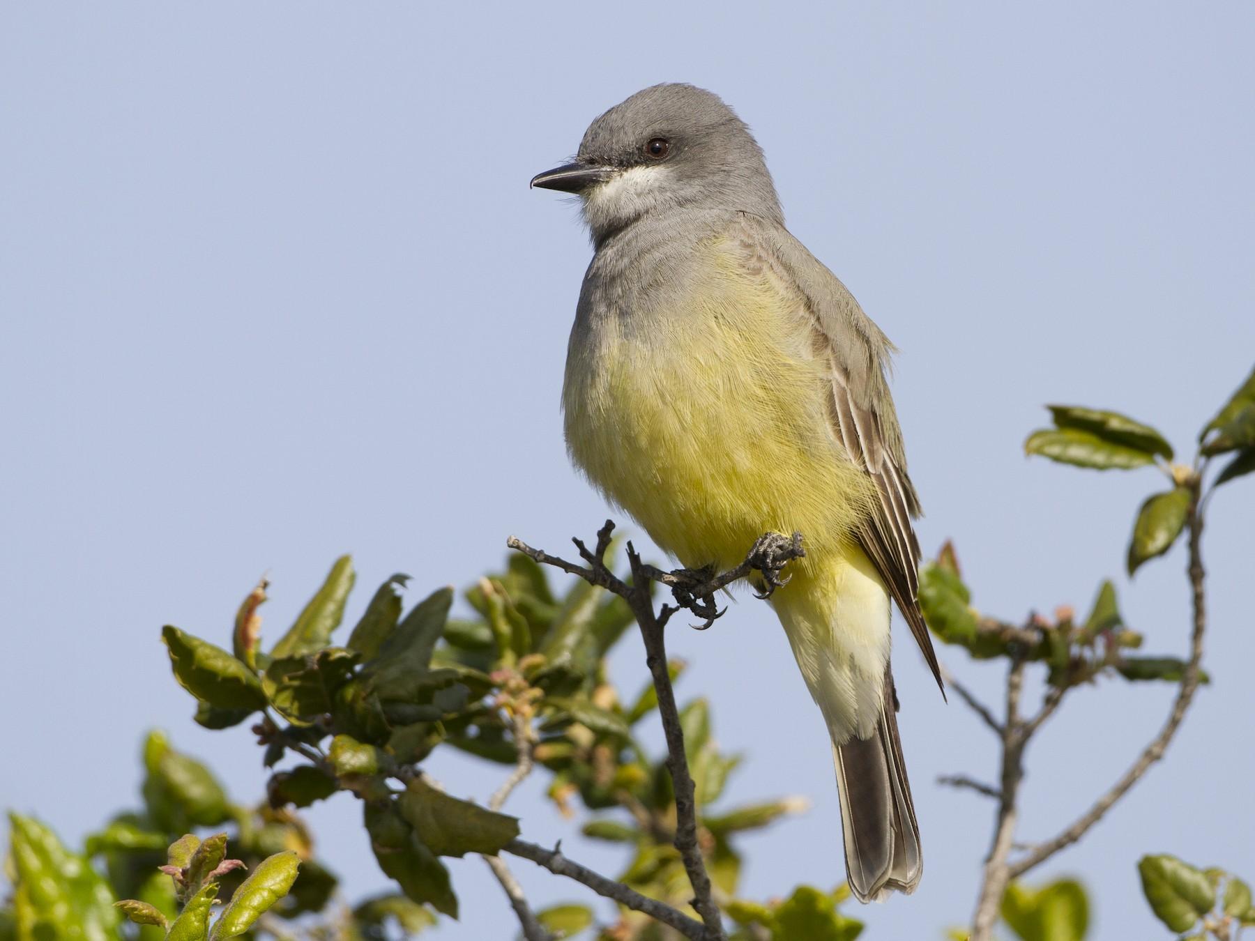 Cassin's Kingbird - Brian Sullivan