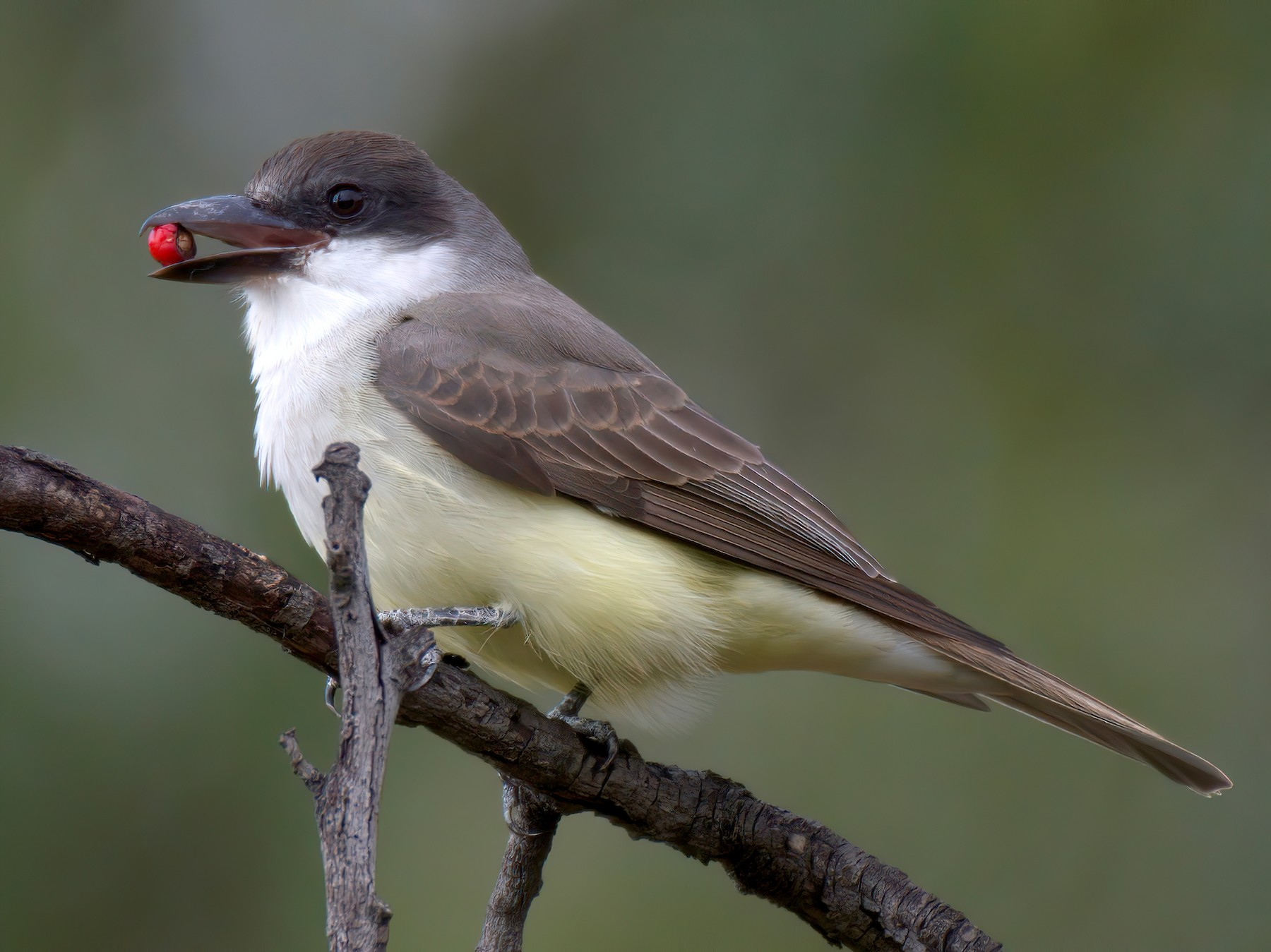 Thick-billed Kingbird - Mark Wilson