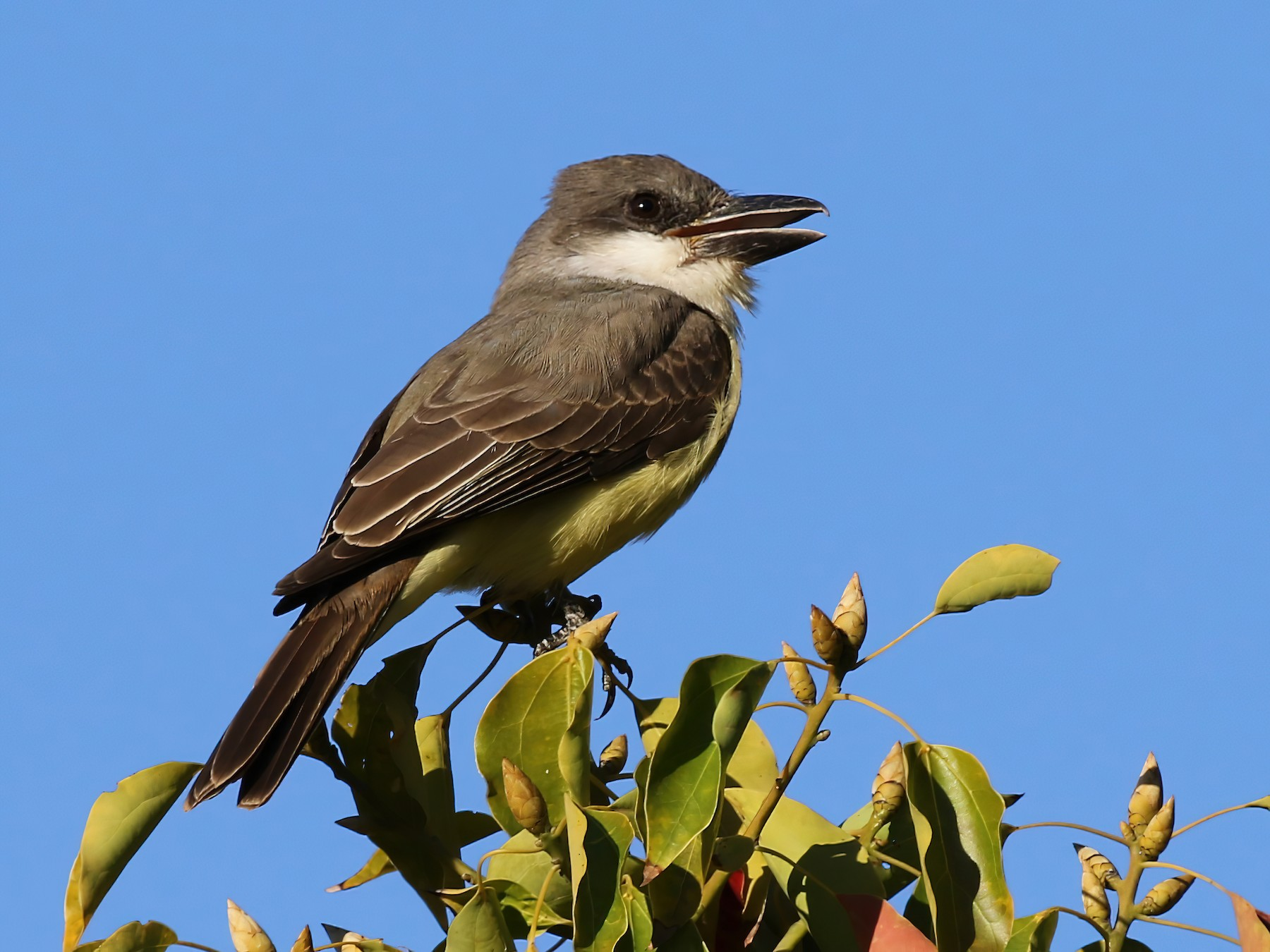 Thick-billed Kingbird - James (Jim) Holmes