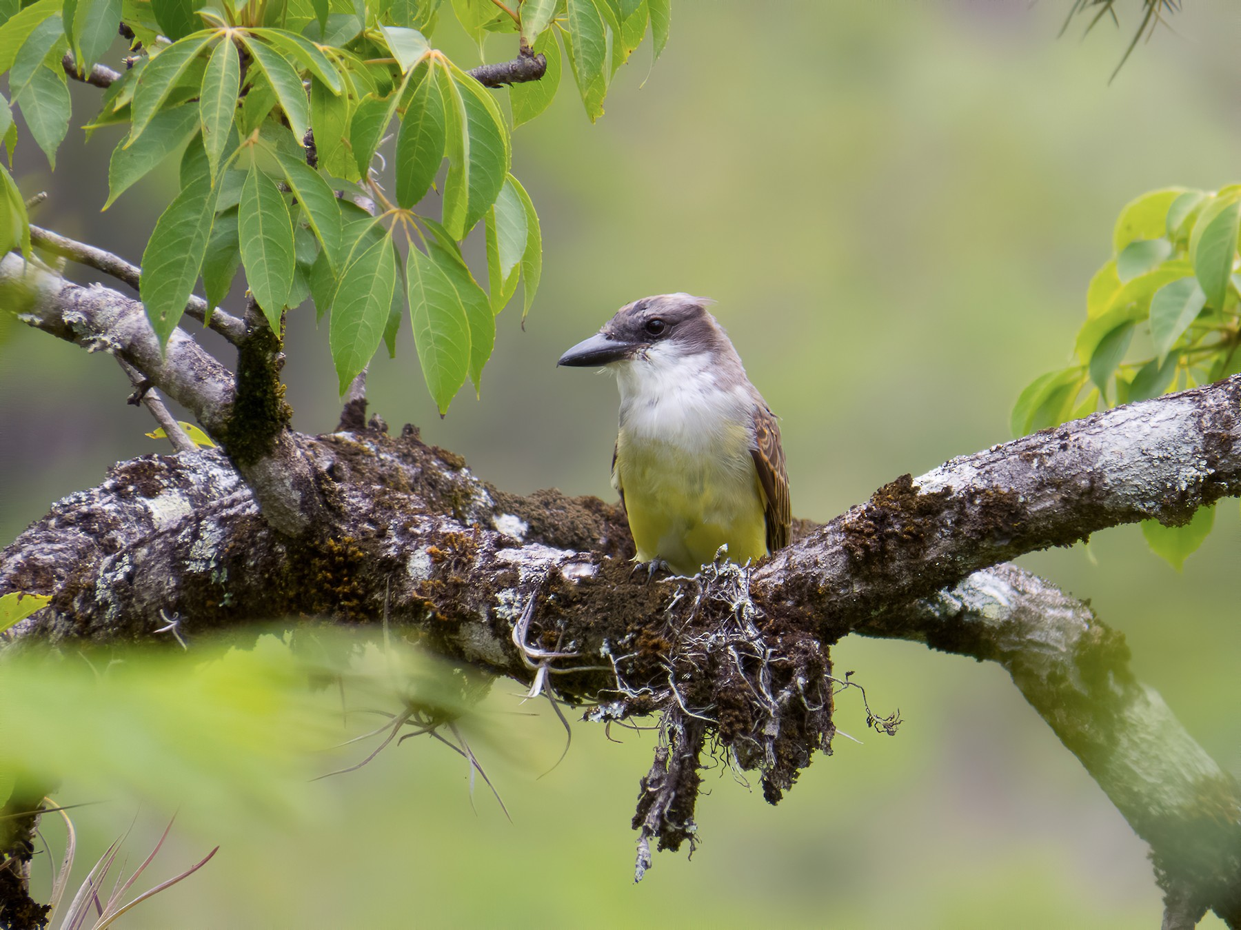 Thick-billed Kingbird - Aquiles Brinco
