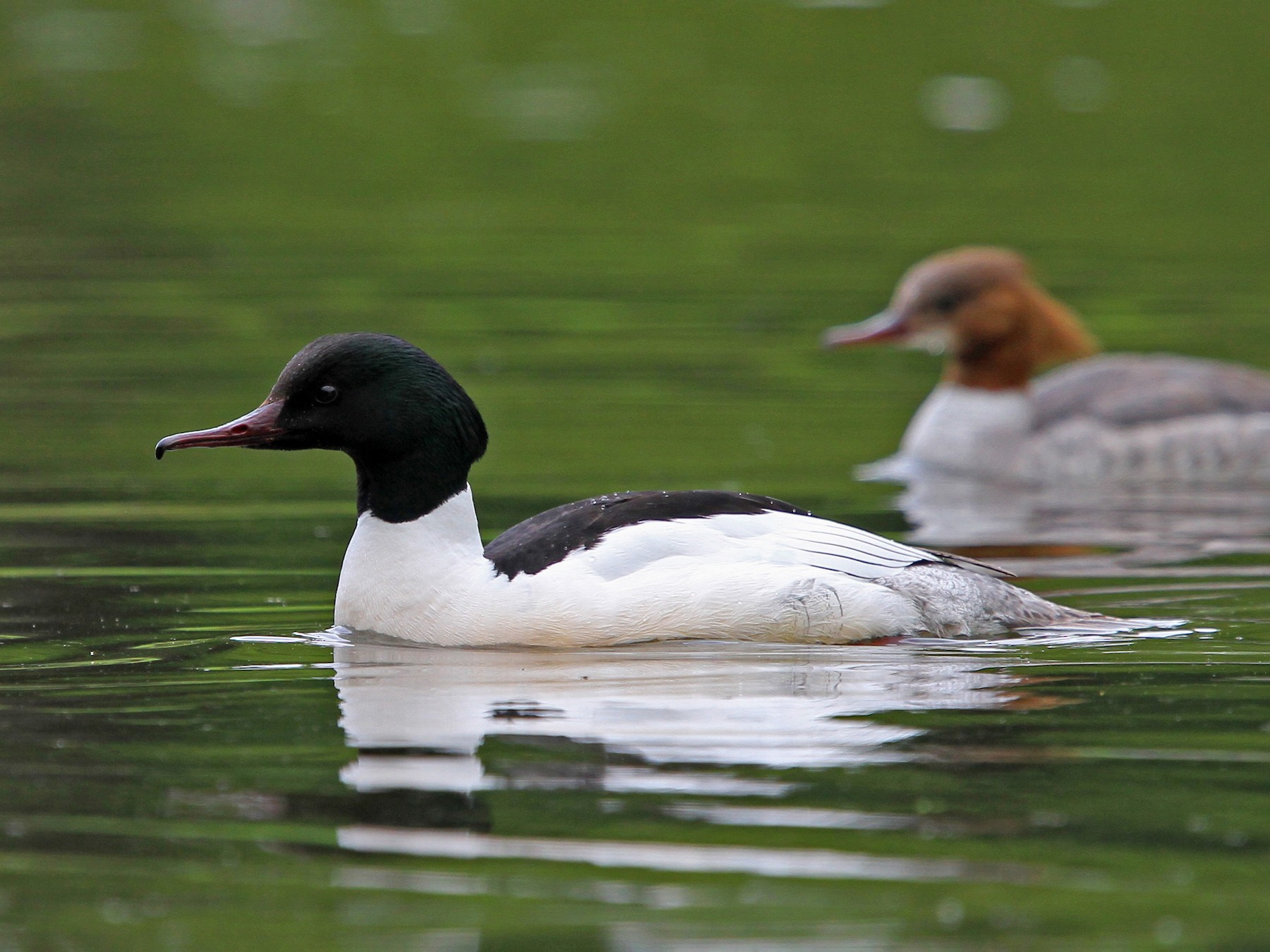 Common Merganser - Christoph Moning