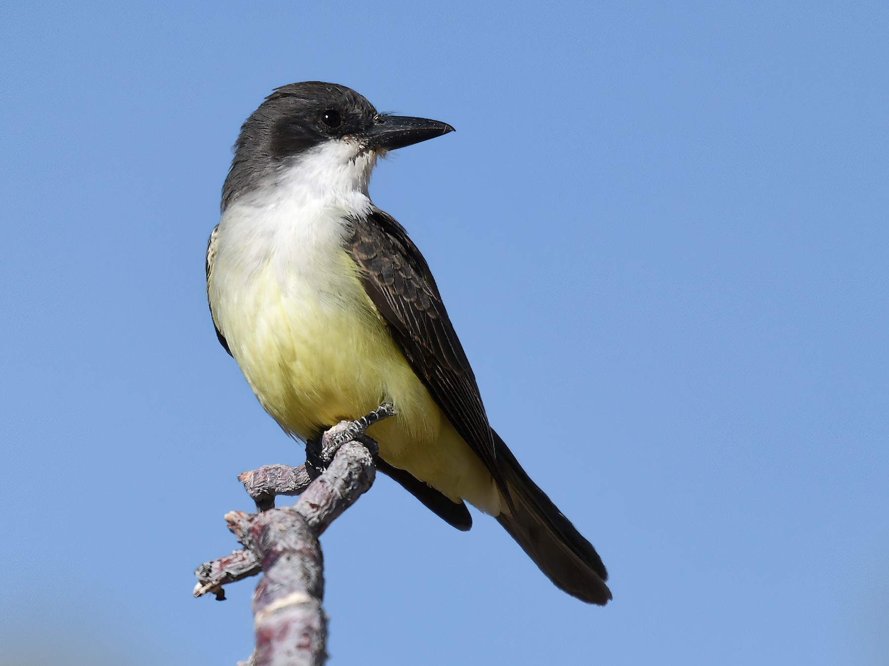 Thick-billed Kingbird - Scott Page