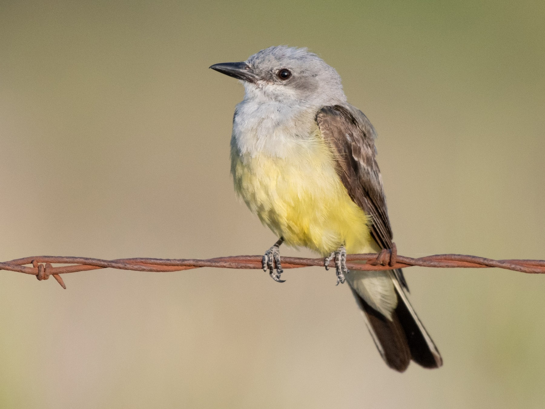 Western Kingbird - Tyler Ficker