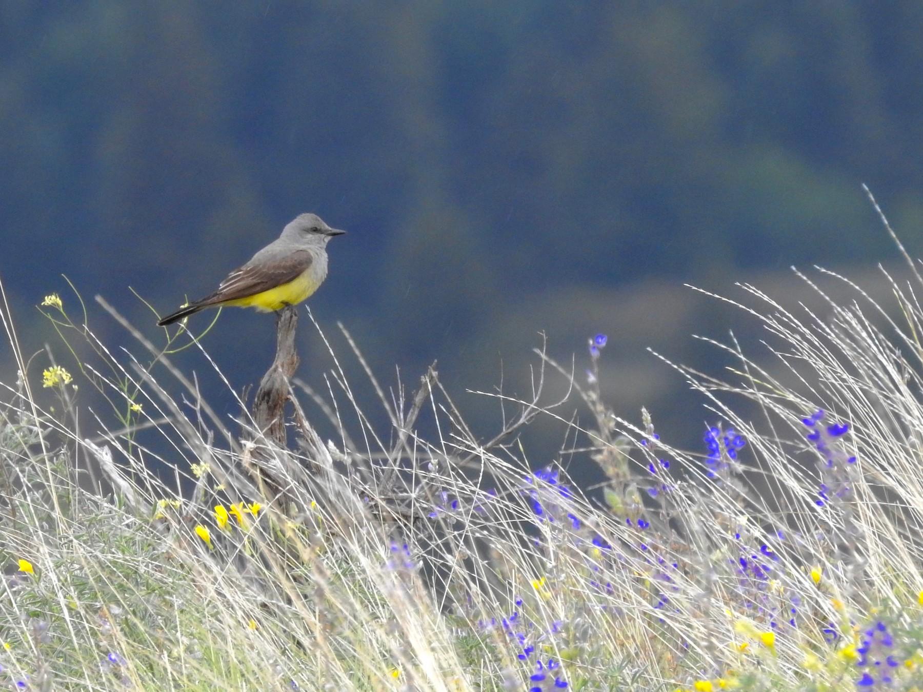 Western Kingbird - Kalin Ocaña
