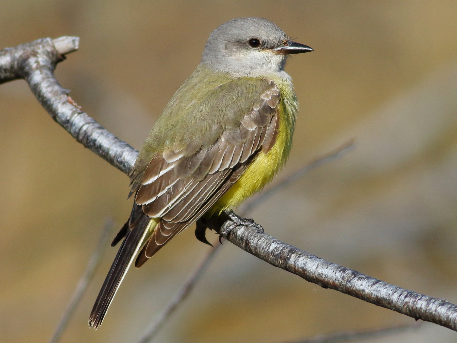 Western Kingbird - Sean Williams
