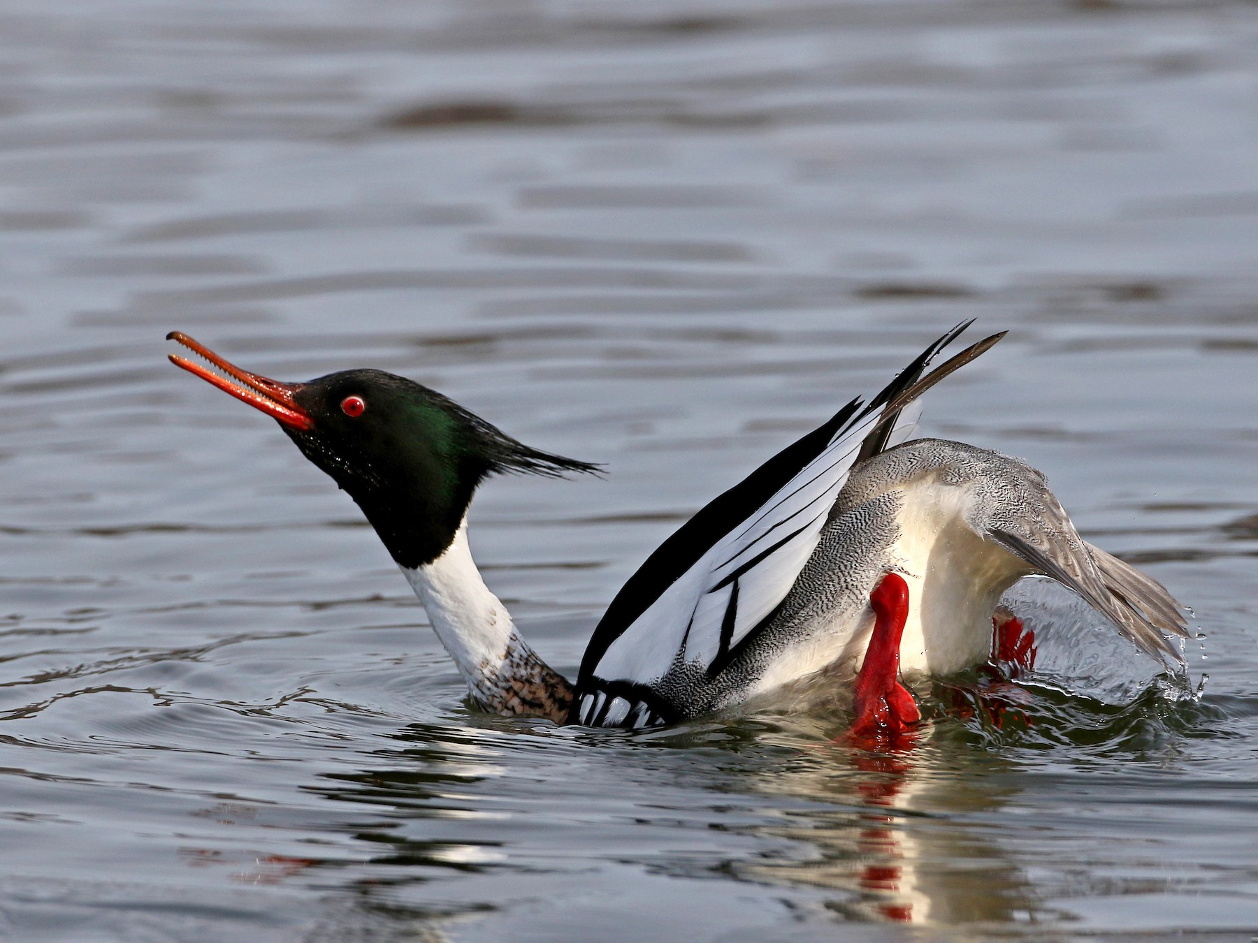 Red-breasted Merganser - Jay McGowan