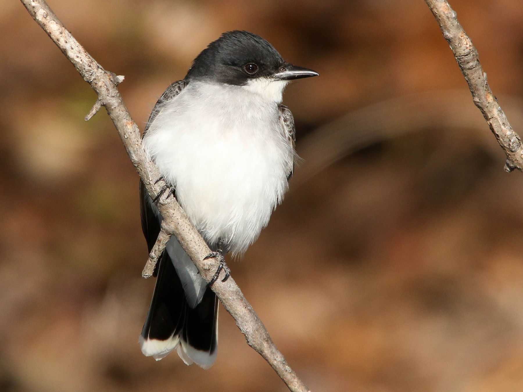 Eastern Kingbird - Benjamin Hack