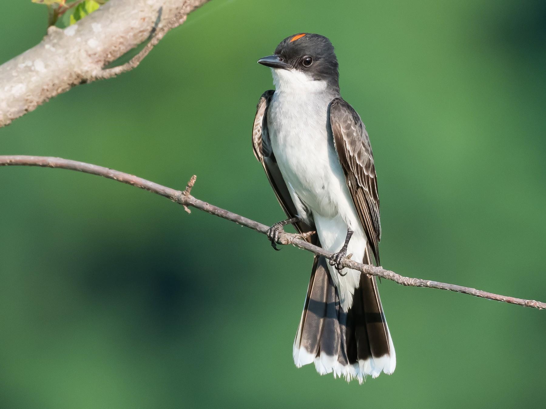 Eastern Kingbird - Bonnie Ott