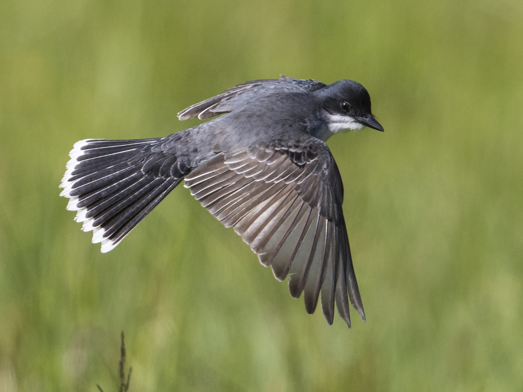 Eastern Kingbird - Michael Stubblefield