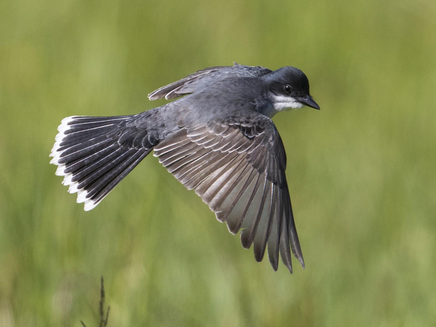 Eastern Kingbird - Michael Stubblefield