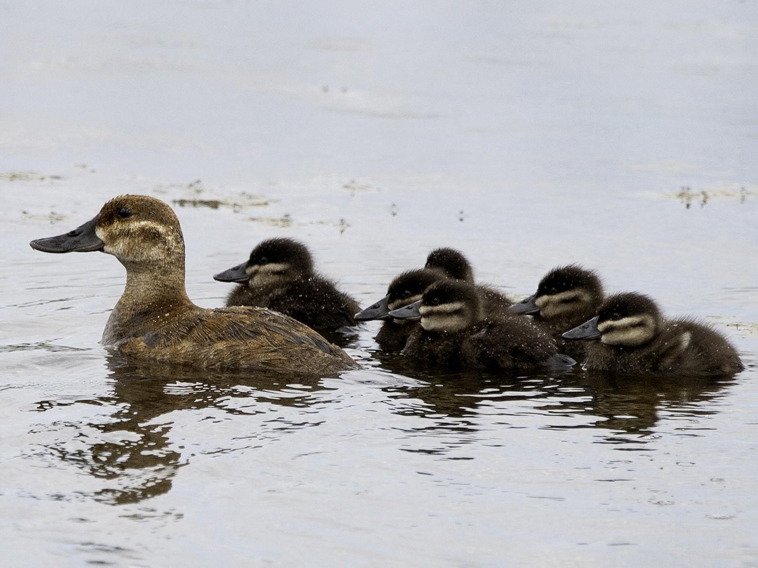 Ruddy Duck - Cam Nikkel