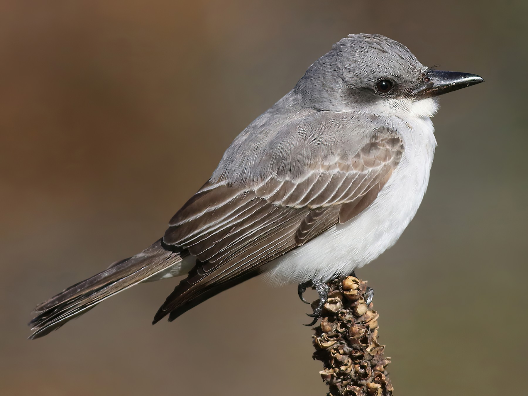Gray Kingbird - Peter Trimble