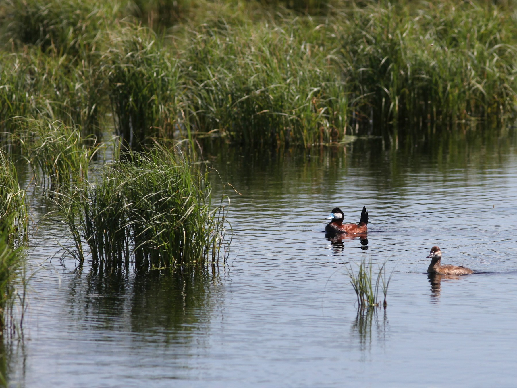 Ruddy Duck - Irene Crosland