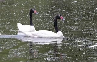 Black-necked Swan, ML302133441