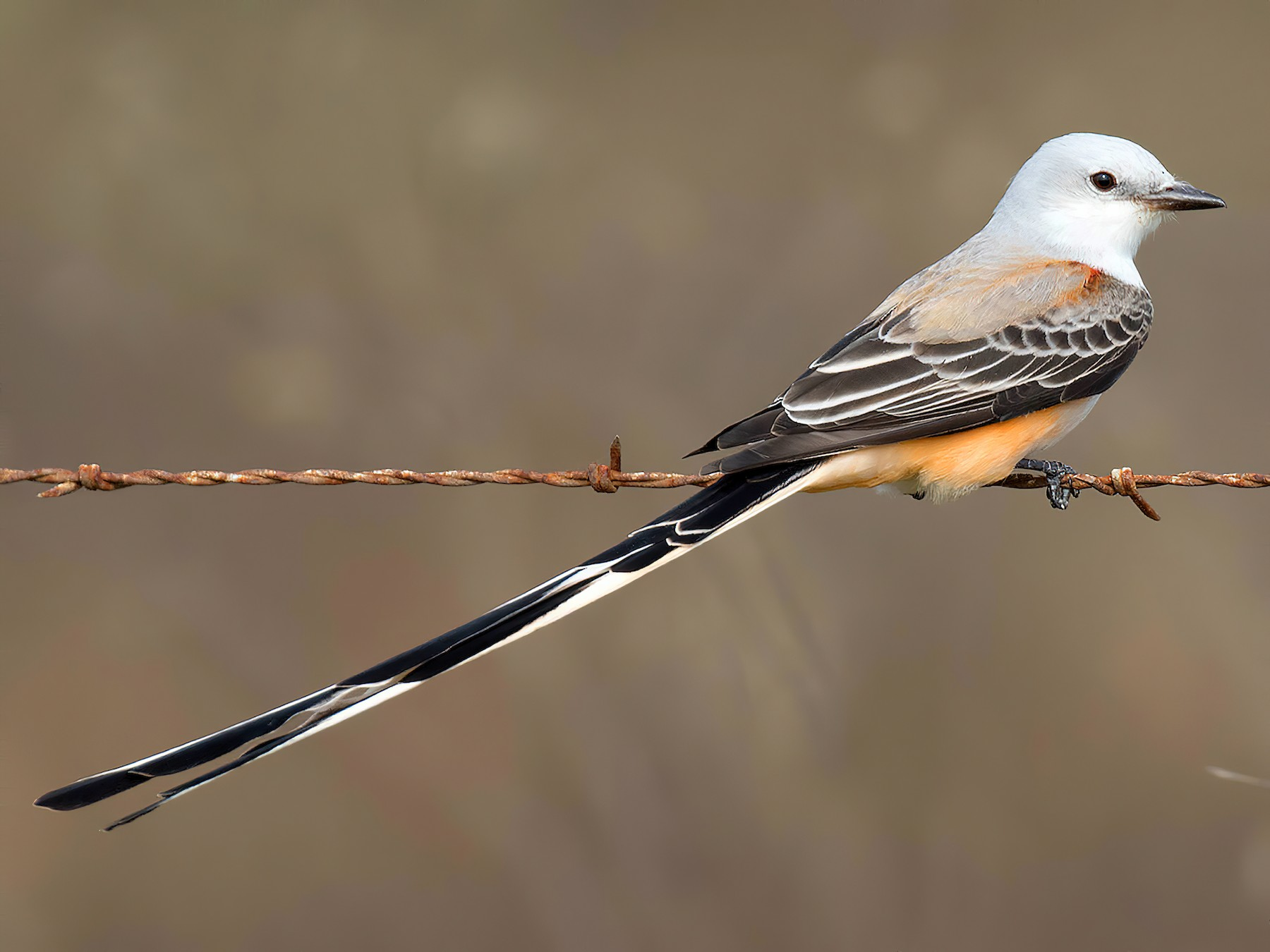 Scissor-tailed Flycatcher - Ryan Shaw