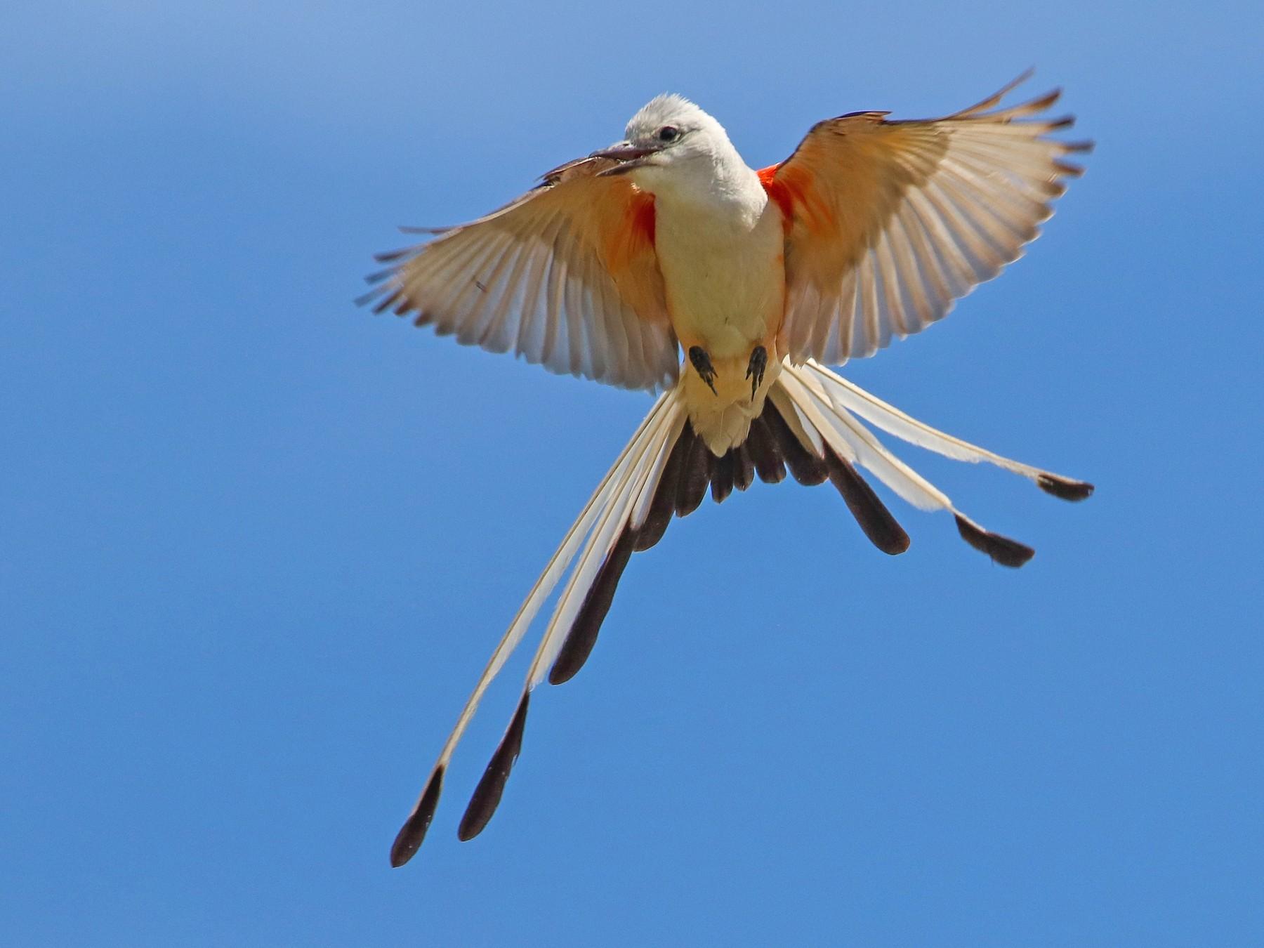 Scissor-tailed Flycatcher - Martina Nordstrand