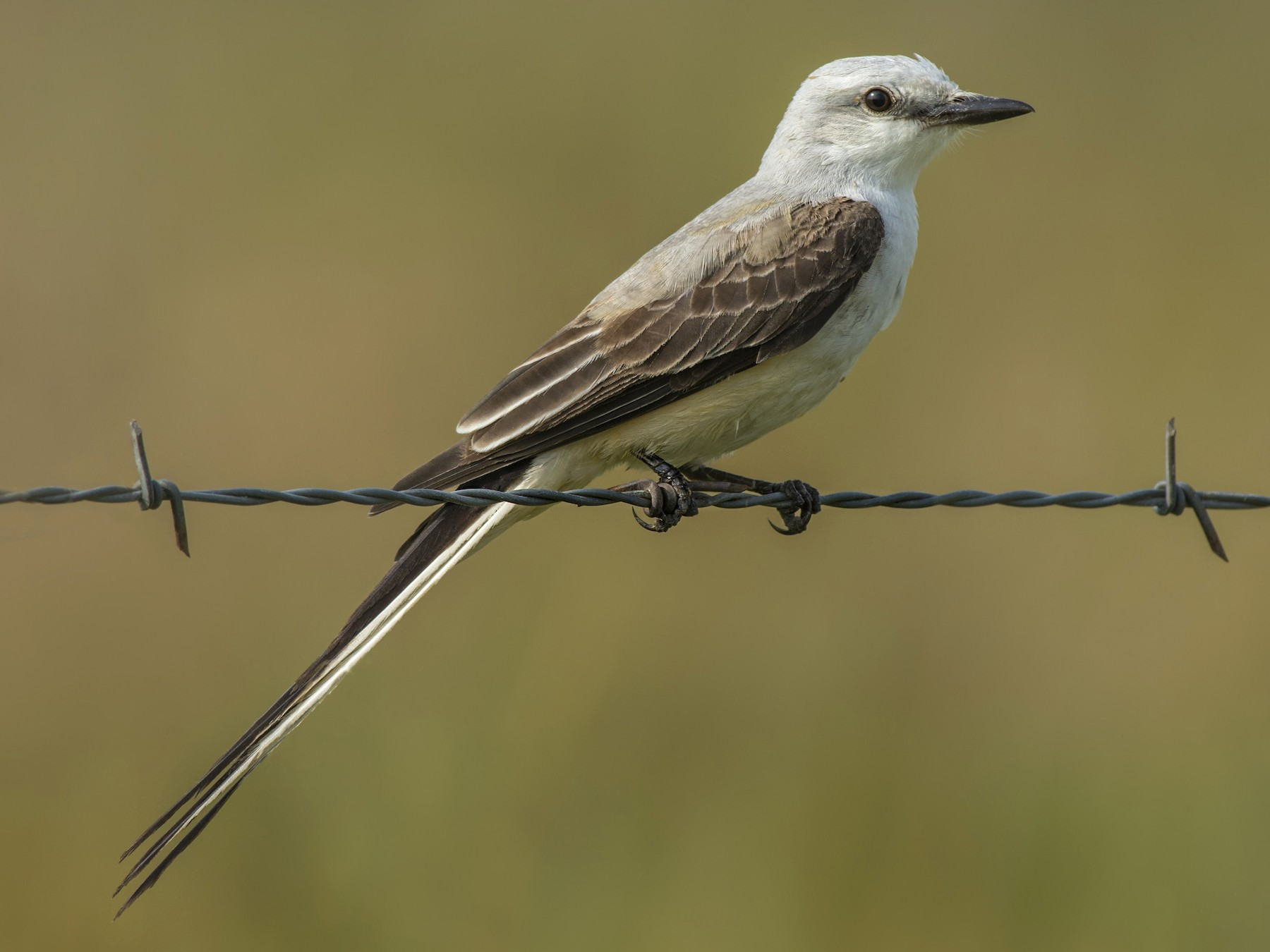 Scissor-tailed Flycatcher - Jeff Maw