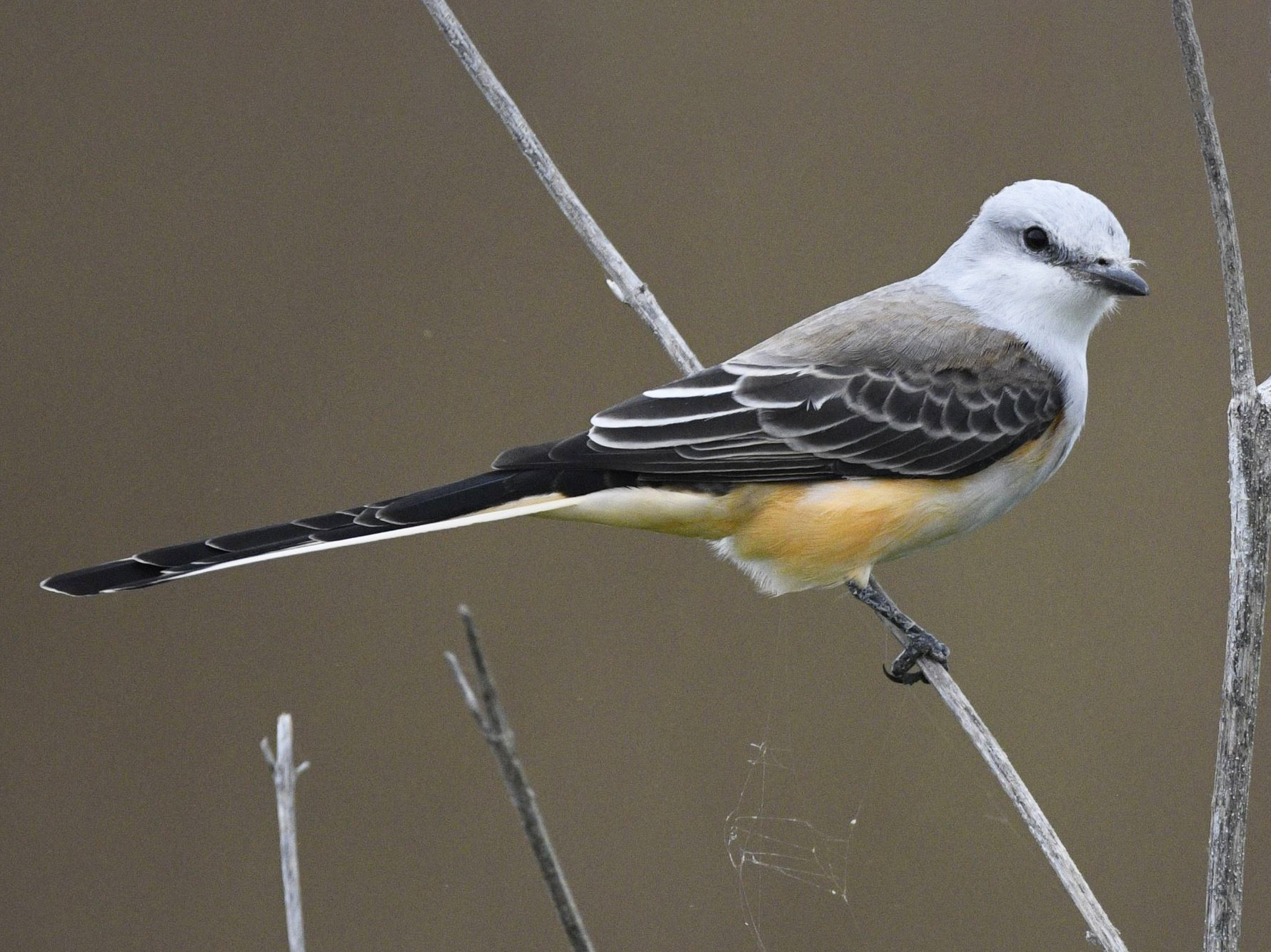 Scissor-tailed Flycatcher - Peter Billingham