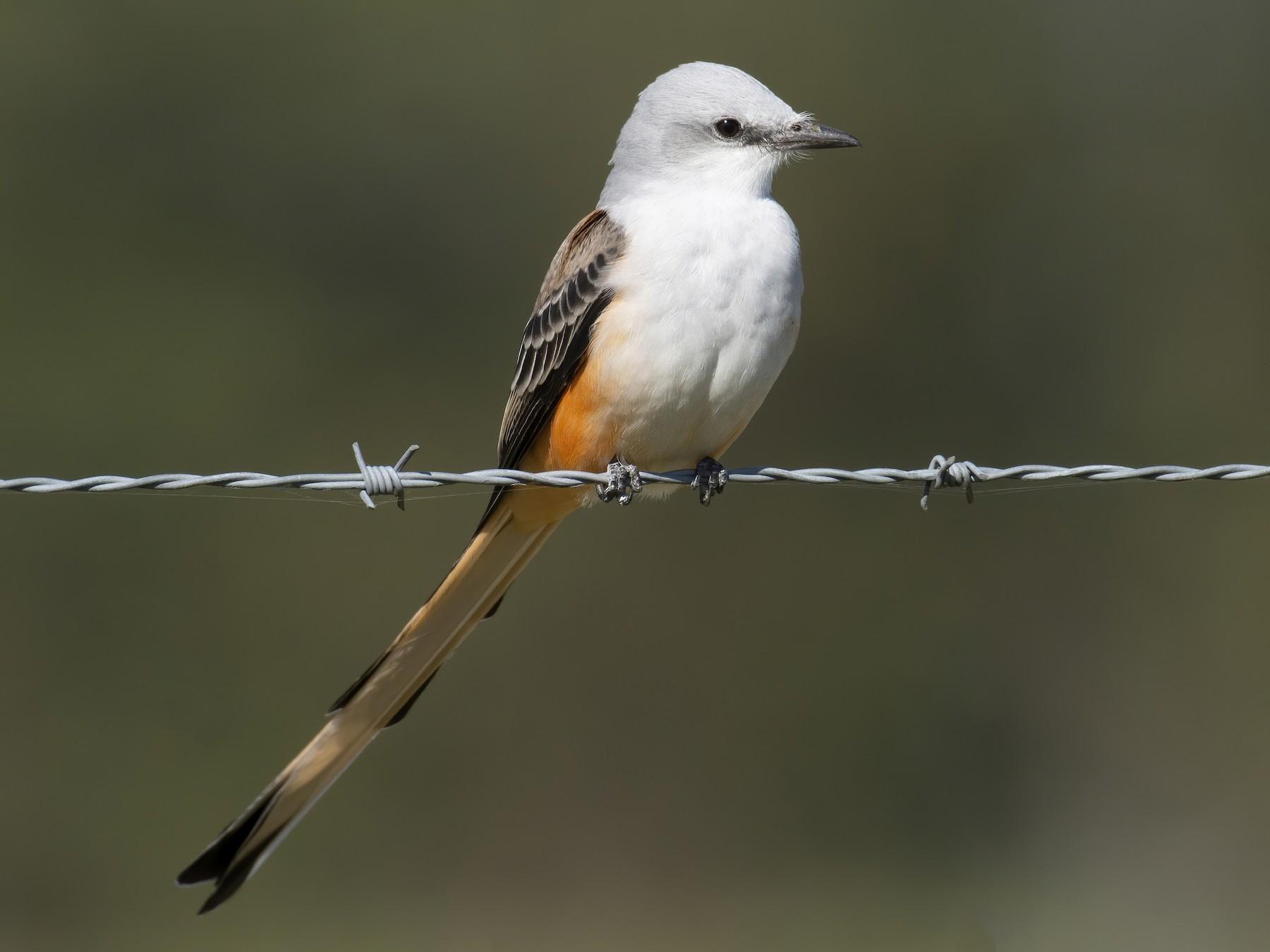 Scissor-tailed Flycatcher - Marky Mutchler