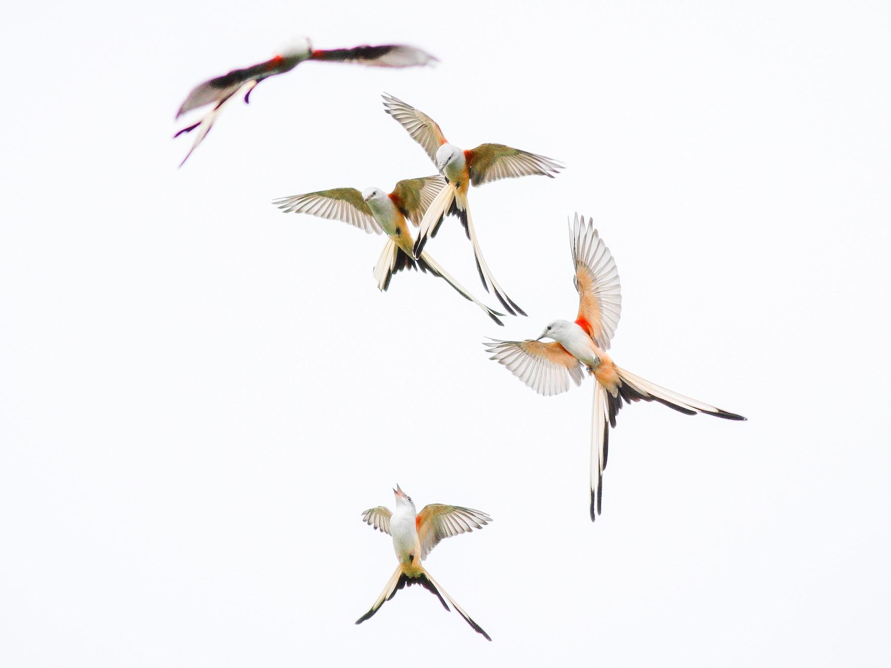Scissor-tailed Flycatcher - Jesse Watson