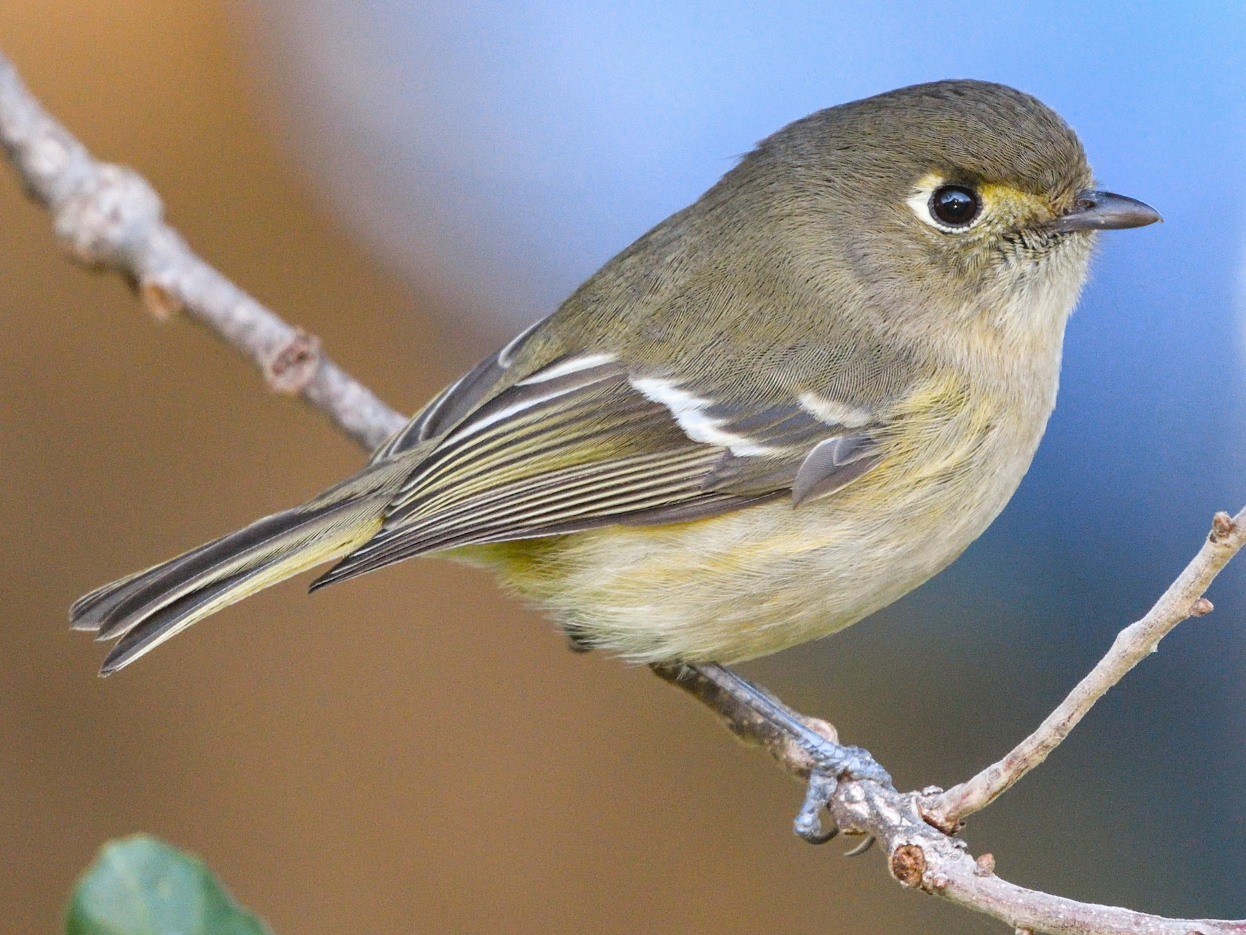 Hutton's Vireo - Jerry Ting