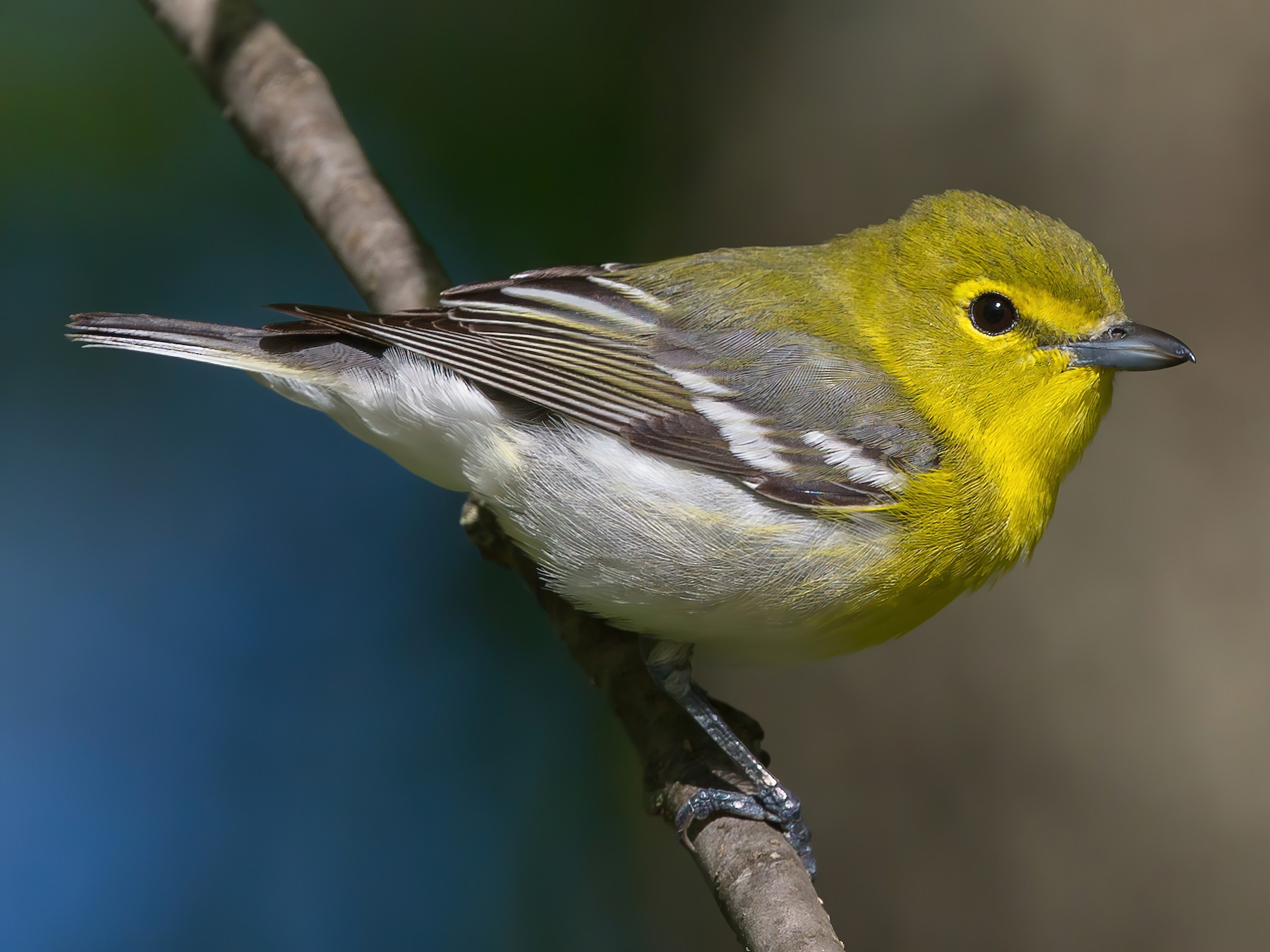 Yellow-throated Vireo - Todd Fellenbaum