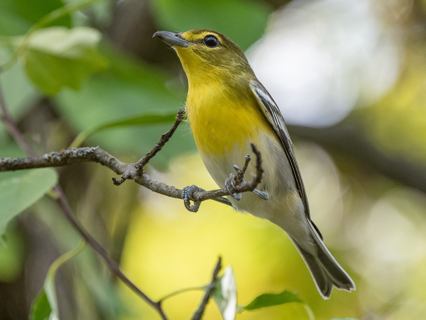 Yellow-throated Vireo - Sheila Bremer