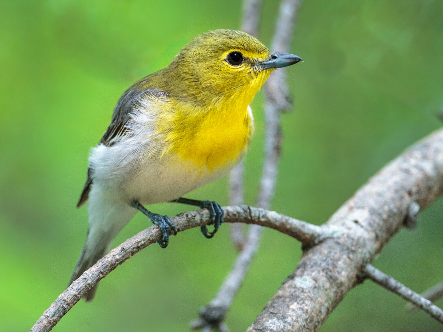 Yellow-throated Vireo - Brian Smith