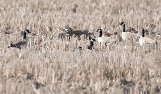 Cackling Goose, ML302301691