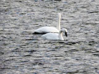 Tundra Swan, ML302306941